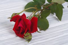 Red rose on a background of wooden boards Stock Images