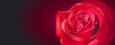 Red Rose Banner Royalty Free Stock Image