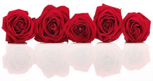 Red Rose Banner Royalty Free Stock Photo