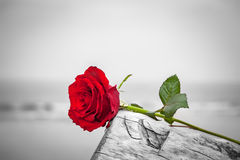 Red rose on the beach. Color against black and white. Love, romance, melancholy concepts. Red rose lying on broken tree on the beach. Concept of romantic love Royalty Free Stock Photo