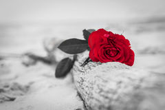 Red rose on the beach. Color against black and white. Love, romance, melancholy concepts. Stock Photos