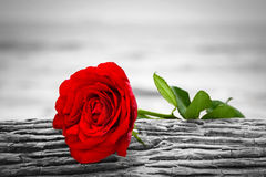 Red rose on the beach. Color against black and white. Love, romance, melancholy concepts. Royalty Free Stock Image
