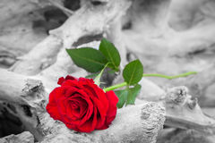 Red rose on the beach. Color against black and white. Love, romance, melancholy concepts. Red rose lying on broken tree on the beach. Concept of romantic love Royalty Free Stock Image
