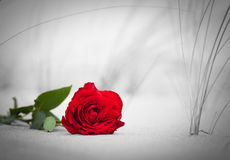 Red rose on the beach. Color against black and white Royalty Free Stock Photo