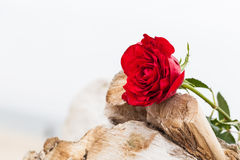 Red rose on the beach. Love, romance, melancholy concepts. Red rose lying on broken tree on the beach. Concept of romantic love, romance, but may also symbolize Stock Photo