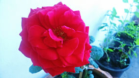 A red rose Royalty Free Stock Images