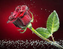 Red Rose. Beautiful rose close-up photo with carbon dioxide bubbles, red-black background Stock Images