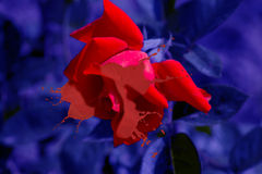 Red rose. Beautiful red rose closeup on a blurred background Royalty Free Stock Image