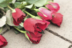 Red rose at beautiful Royalty Free Stock Images