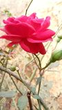 Red rose beautiful flowers golap stock photography
