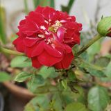 Red rose. Beautiful red rose in garden Royalty Free Stock Images