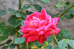 Red rose. Beautiful red rose in a garden Stock Photos