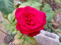 Red rose. Beautiful red rose in garden at evening stock photo