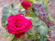 Red rose. Beautiful red rose in garden at evening Royalty Free Stock Images