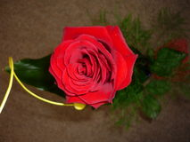 Red rose. Beautiful red rose with green decoration stock photos