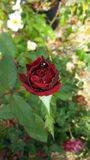 Red Rose. Beautiful red Rose morning shower Stock Photo