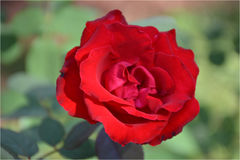 Red rose. Beautiful red rose natural photo in the garden royalty free stock photography