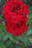 Red rose3 Royalty Free Stock Photography