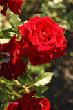 Red rose2 Royalty Free Stock Photography