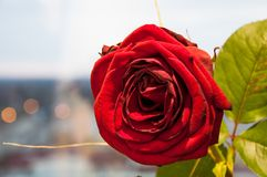 Red rose. Beauty red rose Stock Image