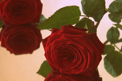 Red rose beauty Royalty Free Stock Photography