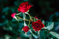 Red rose beauty flower, valentines day love. Royalty Free Stock Photo