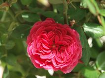 Red rose beauty nature spring flower stock image