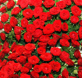 Red rose bed Stock Images