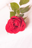 Red rose on the bed close-up Stock Images