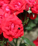 Red rose and bee Stock Image