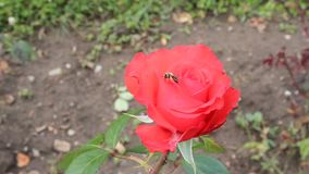 Red rose and bee Royalty Free Stock Image