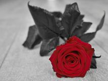 Red Rose begins to wither royalty free stock photo