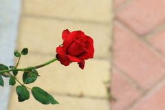 Passionate red roses. Red rose on behalf of warm love, in China, the rose because of its branches with a thorn, is considered an assassin, knight symbol Royalty Free Stock Photography