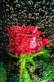 Red rose behind glass of a window with water drops royalty free stock photos