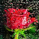 Red rose behind glass of a window with water drops stock image