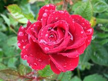 Red Rose. Big red rose flower with dew drops Stock Photos