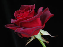 Red Rose on Black. Single red rose on plain black background Royalty Free Stock Images
