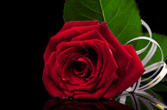 Red rose on black Stock Images