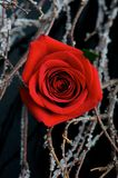 A red rose on black Stock Photography