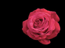 Red Rose on black Royalty Free Stock Photos