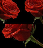 Red rose on a black background. Red rose in dew drops on a black background Stock Photography