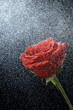Red rose on a black background. Red rose in dew drops on a black background Stock Photos