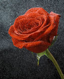 Red rose on a black background. Red rose in dew drops on a black background Stock Images