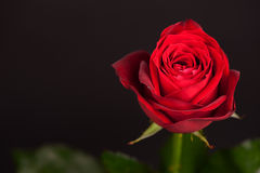 Red rose on black Stock Photography