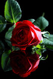 Red rose on a black background Royalty Free Stock Image