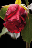 Red rose on black background Royalty Free Stock Photo