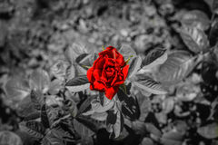 Red rose on black and white background. Black and white isolated background red rose Stock Photography