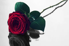 Red rose with black and white reflection Royalty Free Stock Image