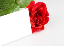 Red rose with blank gift card for text on white background Royalty Free Stock Photo