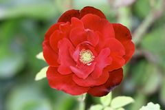 Red rose in bloom Stock Image